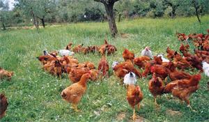 Τα βιολογικά κοτόπουλα