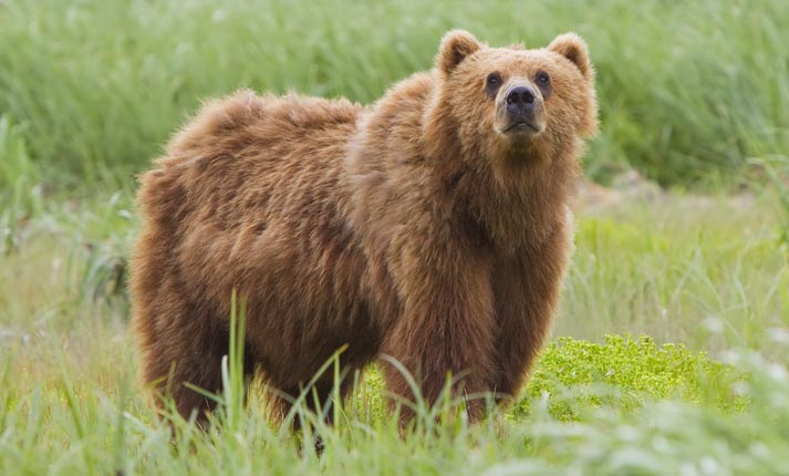 Η πολύτιμη Καφέ Αρκούδα