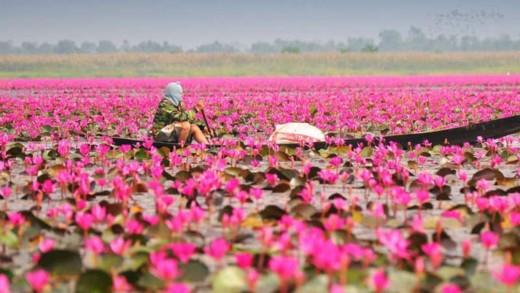 Η… ροζ λίμνη των λωτών που σαγηνεύει!