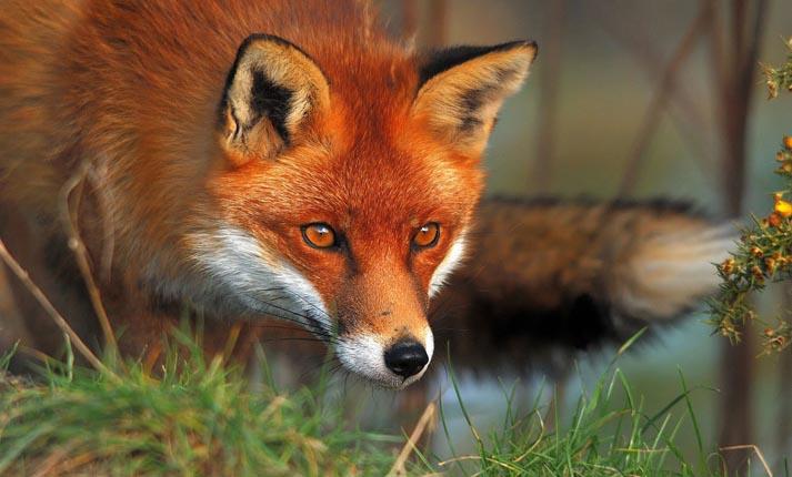 Η σοφία της αλεπούς