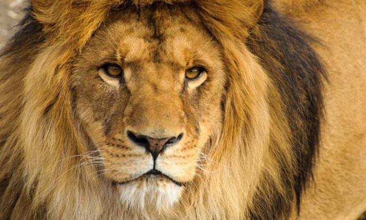 Λιοντάρι, ο βασιλιάς των ζώων