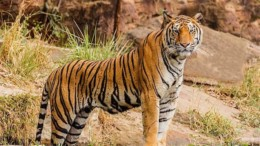 tigris_ena_agria_omorfo_zoo_featured