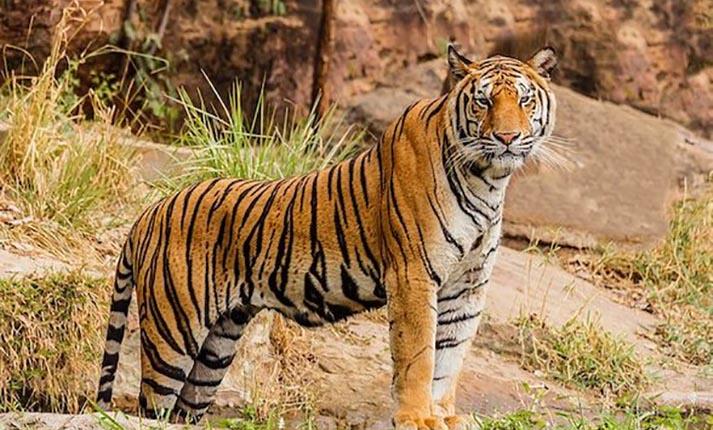 Τίγρης, ένα άγρια όμορφο ζώο