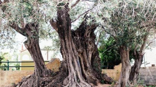 Το δέντρο «ηλικίας» 2.500 ετών που επιβιώνει από την ναυμαχία της Σαλαμίνας μέχρι σήμερα!